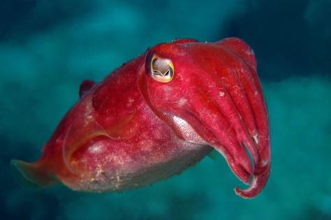 LittleRedCuttlefish